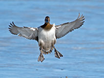 Canvasback Landing Royalty Free Stock Image