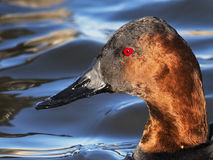 Canvasback Stock Image