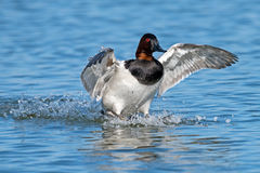 Canvasback Royalty Free Stock Photography