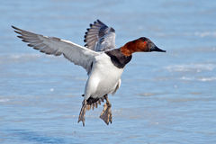 Canvasback Stock Images