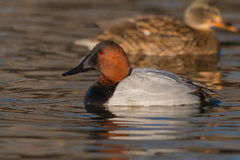 Canvasback on Pond Stock Photos