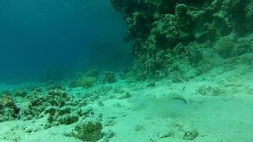 Canyon, the corals and the caves. Underwater life fish on the bottom. The corals and the caves. Corals. Fish and clear water. Tropical sea stock footage