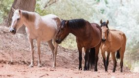 Canyon de Chelly Horses Photographie stock libre de droits