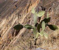 Canyon de Colca, Pérou images stock