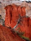 Canyon di Brice, lotta per vita Fotografia Stock