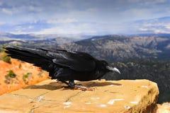 Canyon di Bryce del corvo Fotografia Stock Libera da Diritti