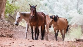 Canyon Horses. Wild horses in Canyon de Chelly National Monument near Chinle, Arizona royalty free stock images