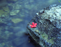 Canyon Maple Leaf. Red leaf on rock in river stock photo