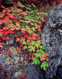 Canyon Maple Leaves & Rock Stock Photography