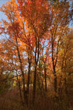 Canyon Maples. In Good Enough Canyon, Idaho Stock Photography