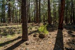 Canyon Rim Trail de sycomore en Arizona image libre de droits