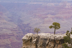Canyon Tree. A tree on the edge of the Grand Canyon Stock Photos