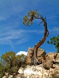 Canyon tree Royalty Free Stock Images