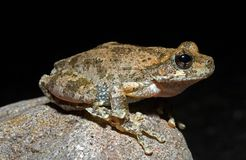A Canyon Tree frog Royalty Free Stock Photos
