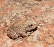 Free Canyon Tree Frog Royalty Free Stock Images - 19738899