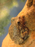 Canyon tree frog. Closeup of a canyon tree frog (hyla arenicolor) on a rock above a pool Stock Images