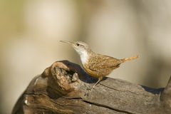 Canyon Wren perched on a log. A Canyon Wren perched on an old log Royalty Free Stock Images