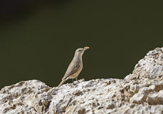 Canyon Wren Proud of the Button He Found Stock Photo