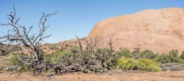 Canyonlands National Park, Utah juniper Royalty Free Stock Images