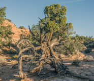 Canyonlands National Park, Utah juniper Royalty Free Stock Photography