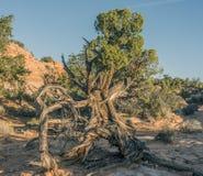 Canyonlands National Park, Utah juniper Royalty Free Stock Photography