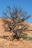 Canyonlands National Park, Utah juniper Stock Photo