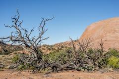 Canyonlands National Park, Utah juniper Royalty Free Stock Photo