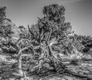 Canyonlands National Park, Utah juniper Royalty Free Stock Photos