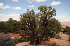 Canyonlands tree. Green gnarly tree against orange desert and blue sky royalty free stock photography
