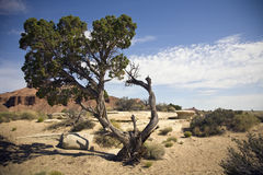 Canyonlands in Utah. Gnarled pinion pine in desert area of Canyonlands, Utah stock photography