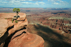 Canyonlands View. A small tree on a cliff at Island in the Sky, overlooking Canyonlands National Park in Utah, USA Stock Image