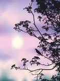 Canzone del nightingale Immagini Stock