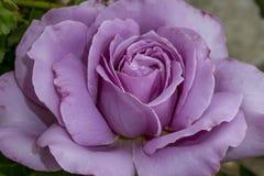 Canzone di amore Rosa Fotografia Stock Libera da Diritti