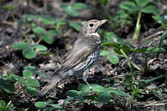 Canzone thrush_4 dell'uccellino implume Fotografie Stock