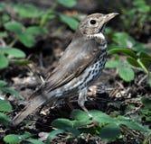 Canzone thrush_5 dell'uccellino implume Fotografia Stock Libera da Diritti