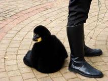 Cao-vit Crested Gibbon Royalty Free Stock Photo