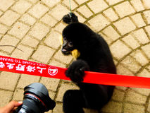 Cao-vit Crested Gibbon staring. A cute male Cao-vit Black Crested Gibbon staring at a camera at Shanghai wild animal park China on a sunny day Royalty Free Stock Image