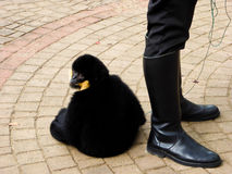 Cao-vit krönade Gibbon Royaltyfri Foto
