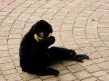 Cao-vit krönat Gibbon stickande finger Royaltyfri Bild