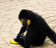 Cao-vit krönat Gibbon stirra royaltyfria bilder