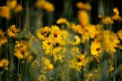 Caos de flores amarillas Imagen de archivo libre de regalías
