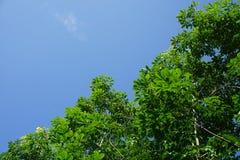Caoutchouc trees Photographie stock