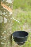 Caoutchouc trees Images libres de droits