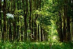 Caoutchouc trees Image libre de droits