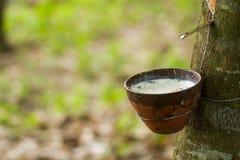Caoutchouc trees Image stock
