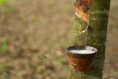 Caoutchouc trees Photo libre de droits
