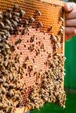 Capítulo con la miel antes de recoger la miel Imagenes de archivo