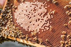 Capítulo con la miel y las abejas Fotos de archivo libres de regalías