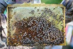 Capítulo con los panales, llenados de la miel en las manos del apicultor Imágenes de archivo libres de regalías