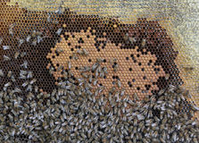 Capítulo con los panales y muchas abejas del arrastramiento Fotografía de archivo